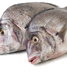 Porgies_fish